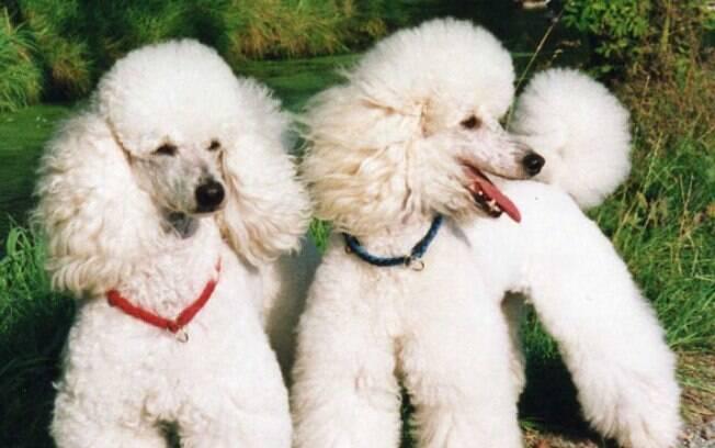 Mesmo tendo fama de ser um 'cachorro de madame' o Poodle está em segundo lugar no ranking dos cachorros maia inteligentes do mundo