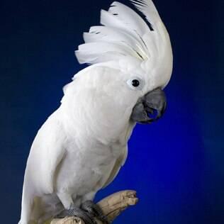 Cacatua Branca - undefined