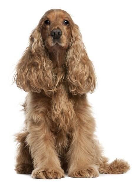 Cãozinho de pequeno porte com pelo levemente ondulado e sedoso