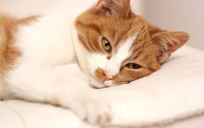 Conheça os sintomas de dor em gatos
