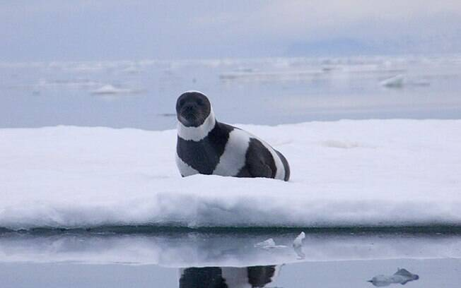 Foca de fita, foca