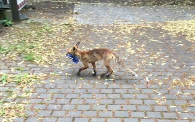 Raposa rouba calçados em Berlim
