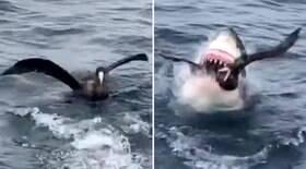 Tubarão abocanha pássaro em briga por atum