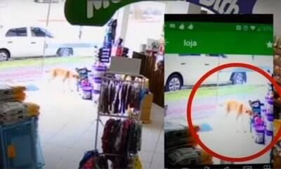 Cachorro é flagrado 'furtando' brinquedo de pelúcia