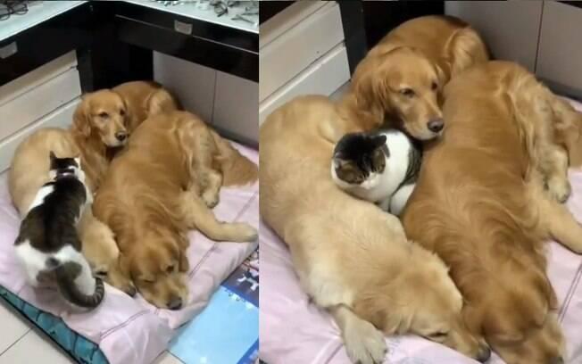Gatinho muito fofo faz seus irmãos caninos de cama