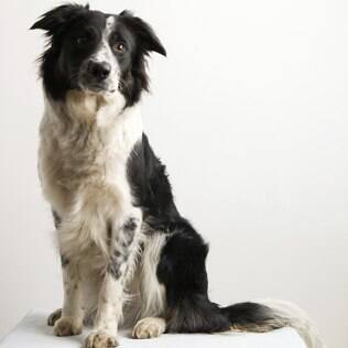 Border Collie - undefined