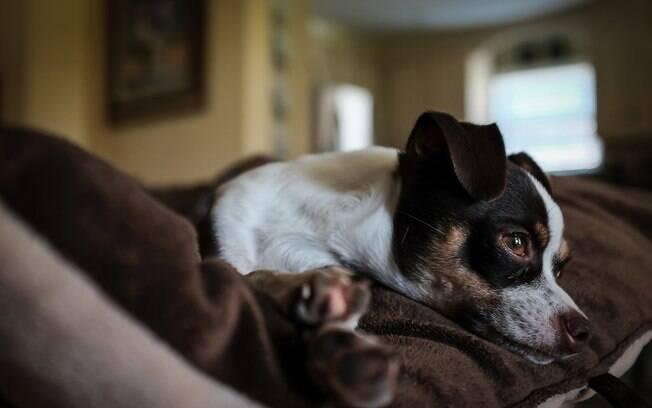 Cãozinho pode ficar sozinho em casa com algumas dicas