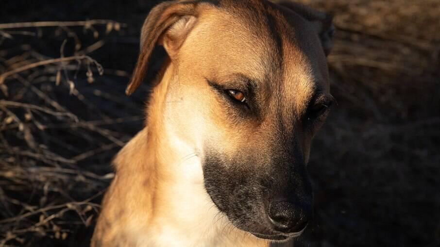 Cães sem raça definida não são necessariamente mais resistentes que cães de raça pura