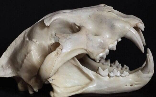 Análises dos ossos do leão mostraram que ele era maior e mais alto do que qualquer outra espécie ainda viva na África