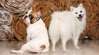 Descubra as raças de cães mais obedientes e as mais arruaceiras