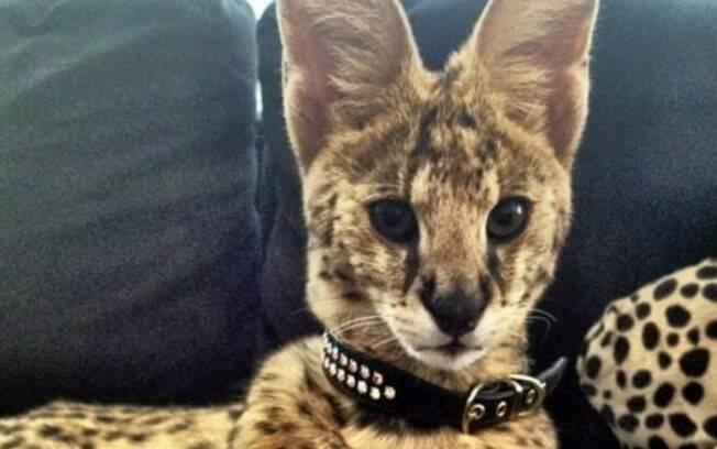 A raça savannah também faz parte dos gatos mais bonitos do mundo