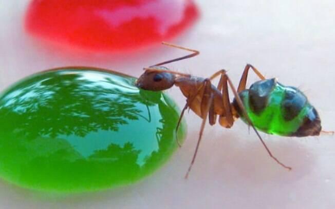 A formiga-faraó possui algumas partes do corpo transparentes