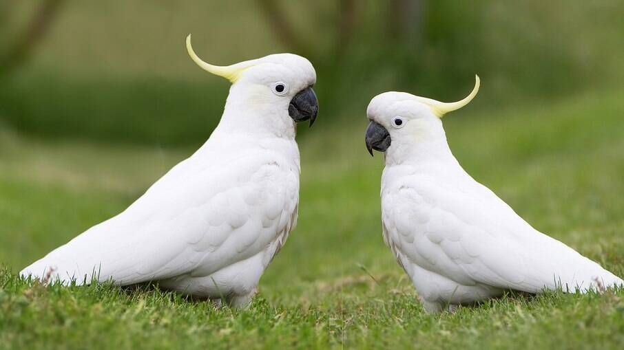 As cacatuas são aves silvestres que vivem bem em espaços domésticos