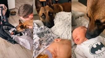 Pastor alemão reage à chegada de bebê na família e encanta web