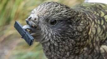 Papagaio deficiente se adapta ao uso de ferramentas; assista