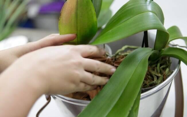 flores jardim guedala:Limpe as folhas com um pano molhado em água para dar mais brilho