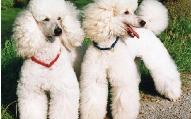 Poodle é uma das raças de cães dóceis que lidam bem com crianças e idosos, além de serem pacientes