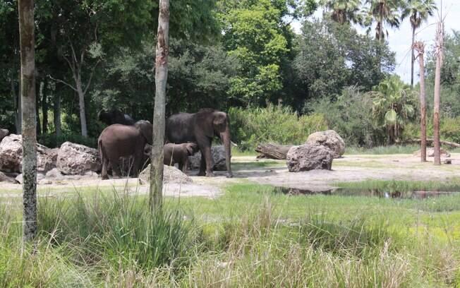 Disney tem o melhor resultado quando se trata da reprodução assistida de elefantes fora do habitat natural