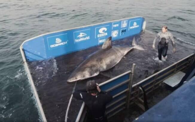 Imensa fêmea foi encontrada na costa do Canadá por pesquisadores