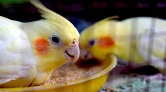 6 tipos de calopsita para conhecer e curiosidades sobre essas aves