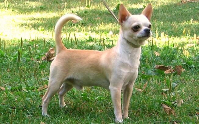 Chihuahua é uma das raças de cachorros roubados e visados por ladrões