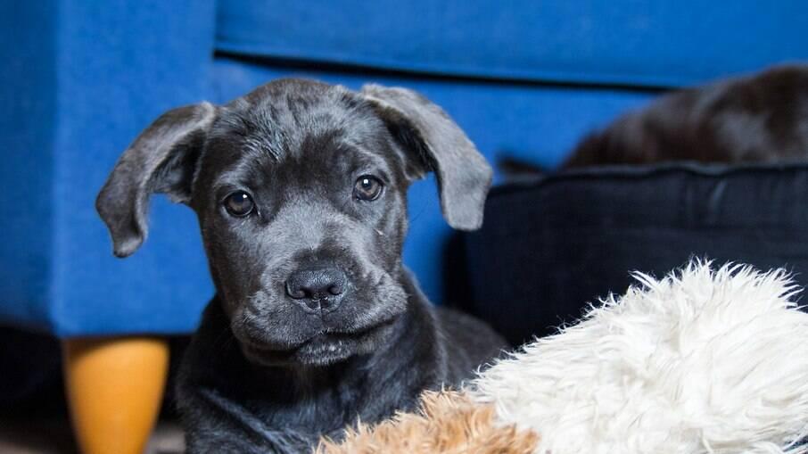 Nos primeiros meses, após a chegada ao novo lar, o tutor deve ensinar ao cão o que ele pode ou não fazer naquele ambiente
