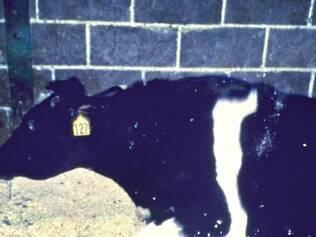 Doença. Animal com o mal da vaca louca, nos EUA, em2012