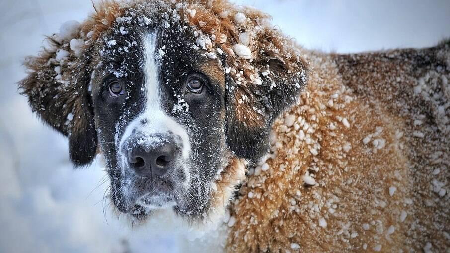 Cães da raça São Bernardo ajudam a resgatar viajantes perdidos em regiões gélidas da Suíça