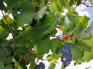 Parreirais mudam a paisagem do sertão nordestino, hoje produtor de frutas, como uvas, goiabas e mangas