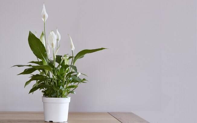 O Lírio da Paz está entre as plantas que ajudam a decorar o ambiente e, ao mesmo tempo, remover a umidade do local