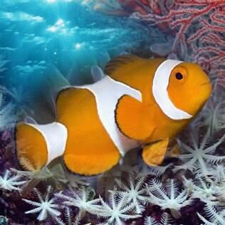 Peixe-palhaço - undefined
