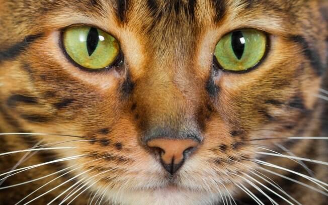 É importante limpar os olhos de gato para evitar acúmulo de sujeira