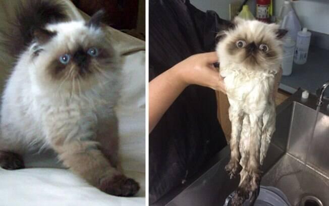 Um gatinho fofinho antes do banho e o mesmo gatinho parecendo que está desintegrando após o banho.
