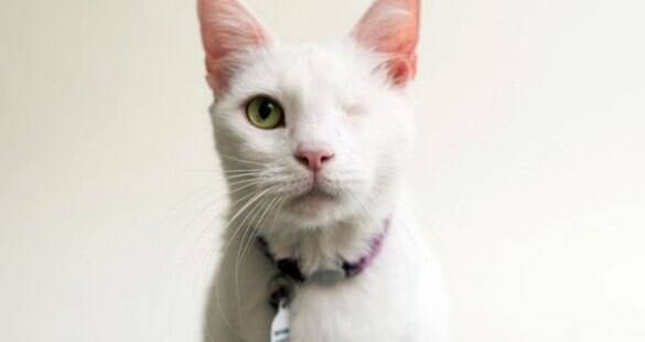 Conheça as doenças oculares mais comuns em gatos e saiba como tratar