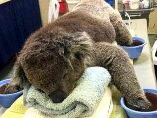 Coala recebe tratamento 'VIP' da marinha após queimaduras nas patas