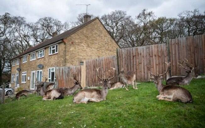 Um bando de veados passou a residir em um bairro residencial no leste de Londres, em Harold Hill, de Dagnam Park