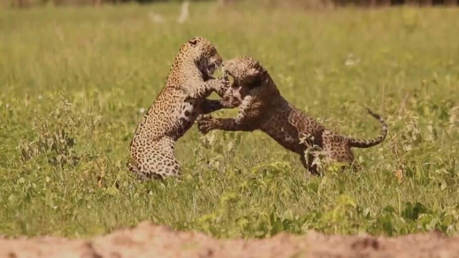 Onças-pintadas brigam para proteger filhote no Pantanal
