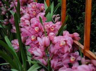 A orquídea da espécie cymbidium pode ser apreciada na mostra do interior de São Paulo