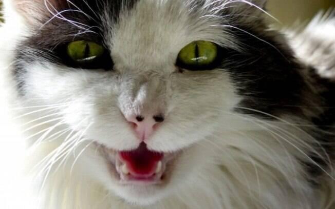 O miado de gato é uma forma de comunicação