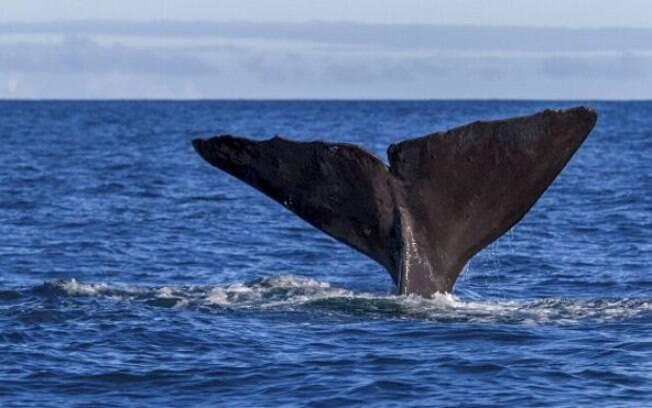 O âmbar cinza, materal fecal das baleias, é produzido por uma parte mínima de cachalotes