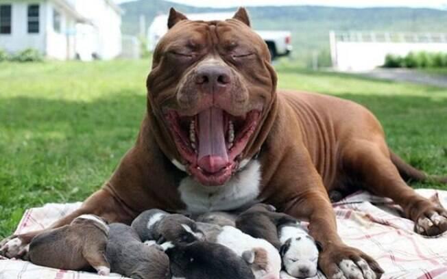 Maior pit bull do mundo gera ninhada que vale R$ 13,6 milhões