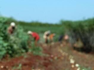 Em Minas Gerais, a participação da agricultura familiar na produção de mandioca é de 84%