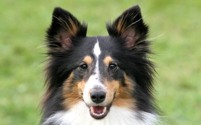 O Pastor de Shetland é um cão muito inteligente