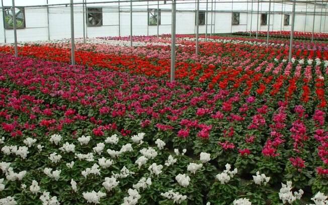Holambra é conhecida como a cidade das flores