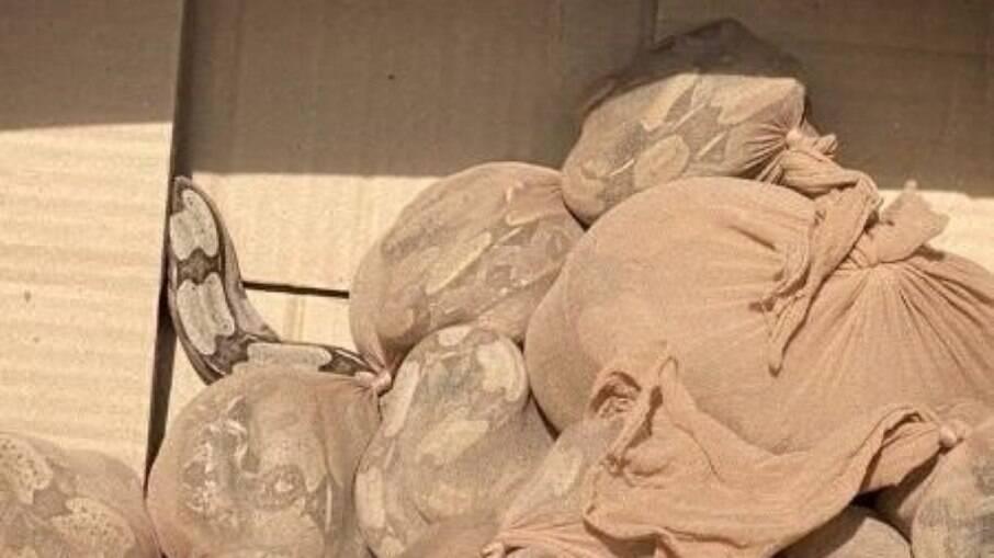 Cobras estavam dentro de meias de nylon quando descobertas pelos funcionários dos Correios