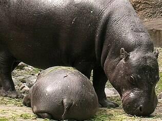 Funcionária do Extra foi comparada a hipopótamo pelo seu suposto excesso de peso