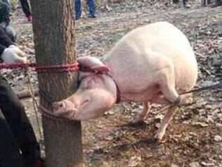 Menino de 2 anos é morto e 'comido' por porca na China