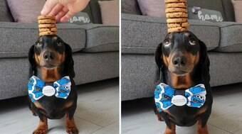 Cão equilibra pilha de biscoitos na cabeça sem deixar cair; veja