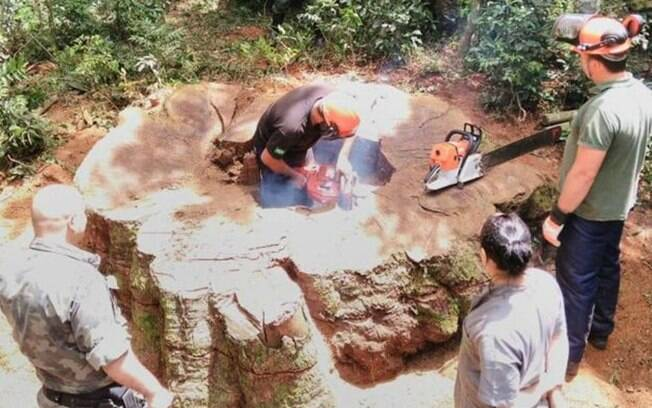 Resultado de imagem para Árvore gigante rara de 535 anos foi derrubada em Santa Catarina para virar cerca