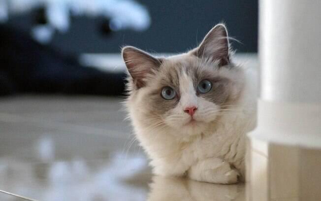 O Ragdoll é um opção entre os gatos para apartamento